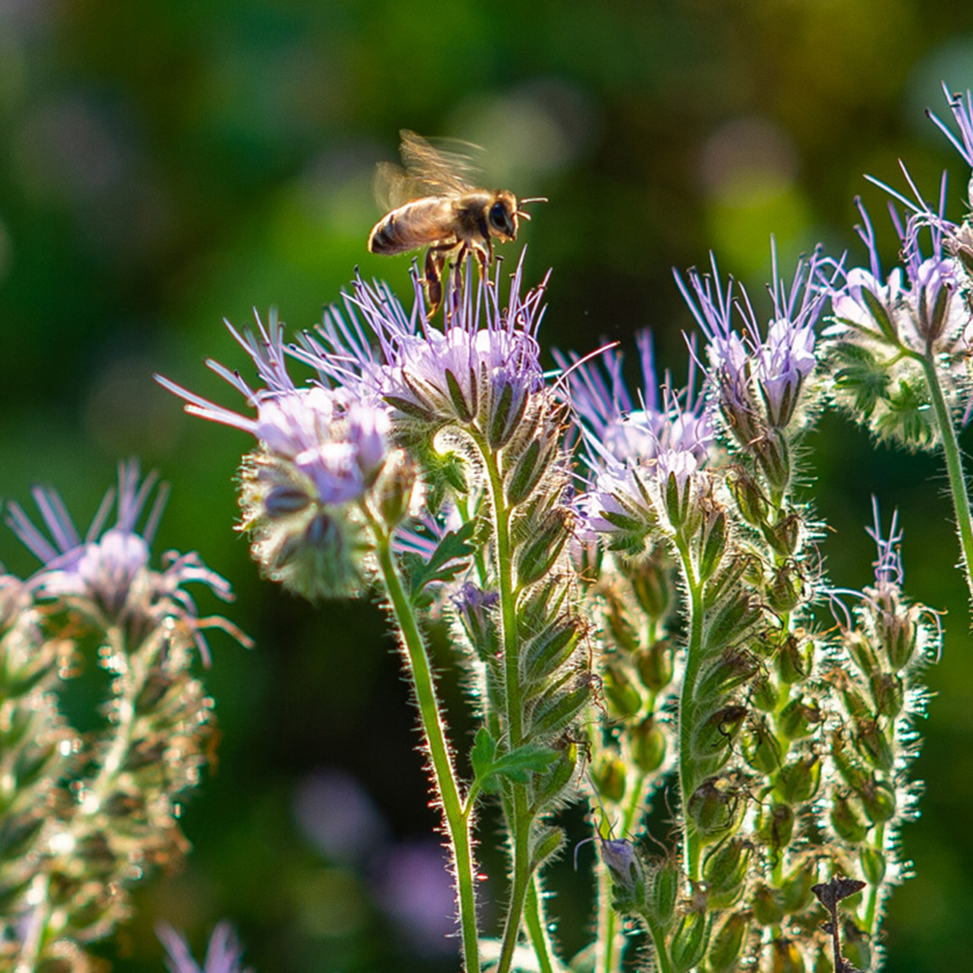 Bremerland blüht blühflächen