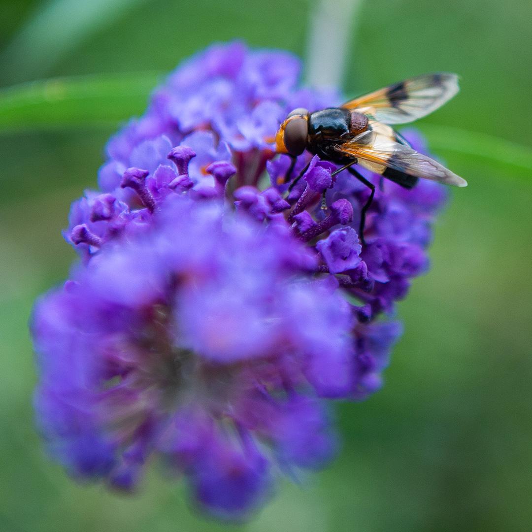 bremerland blüht wildbiene